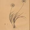 Allium denudatum