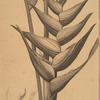 Heliconia humilis