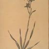 Gladiolus strictiflorus