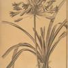 Agapanthus umbellatus