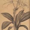 Pancratium fragrans