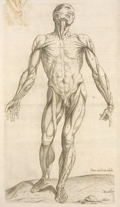 Prima musculorum tabula. [Shows human muscles]