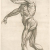 Secunda musculorum tabula. [Shows muscles in a walking position]