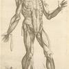 Quinta musculorum tabula.