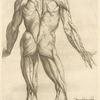 Nona musculorum tabula. [Rear view of the body muscles]