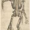 Decima tertia musculorum tabula.