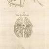 Sixta fig.: Venarum panter acarterum Carebri senem explicat -- Ven & arterialis delineatio -- Arteria venalis processvs.