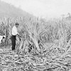 'The sugar-cane harvest was in full swing.'