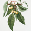 Cilegia gialla Duracina. [Cerasus Duracina ; Cherry]