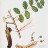 Carobba. [Ceratonia ; Ceratonia siliqua ; Carob, St. John's bread ; Locust bean]