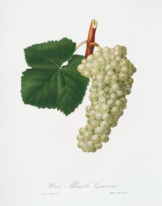 Uva Albarola Genovese. [Vitis vinifera genuensis ; White grape]