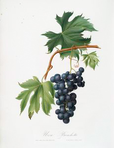 Uva brachetto. [Vitis vinifera niceaensis ; Brachetto grape]]