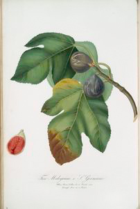 Fico melograno, o S. Germano. [Ficus carica sativa ; Fig]