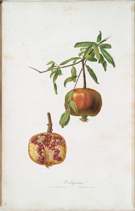 Melagrana. [Pomegranate ; Lybian or Carthaginian apple]