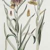 Frittilaria I = Viperino flore ; Fritillaria II = Aquitanica. [Missionbells]