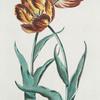 Tvlipa II = La Solitaire brune. [Tulip II]