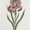 Iris I = Iris Susiana. [Iris Susanah]