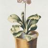 Avricvla vrsi I = Danaee. [Alpine auricula ; Bear's ears]