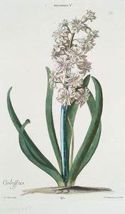 Hyacinthvs V = Colossus. [Hyacinth]