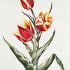 Tulipa VII 'Duc Victor'. [Tulip VIII ; Flame tulip]