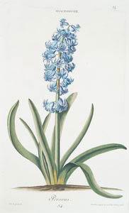 Hyacinthvs VII 'Perseus'. [Hyacinthus ; Hyacinth]