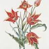 Tulipa XI 'Orange Duc Thol'. [Tulip XI]