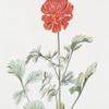 Ranunculus XVI.