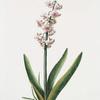 Hyacinthus XXIII 'Konig von Groot Brittanien'