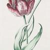 Tulipa XXVIII 'Reine d'Egypte'.