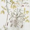 Arachidna hypogaea. [Peanut, Earthnut, Groundnut]