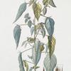 Corchurus olitorius. [Jew's mallow]