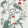 Pentapetes Phoenicea. [Midday flower]