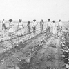 A hoe-crew of Negro men and women in a young cotton field, Aliceville, Alabama.