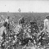 A large cotton field.