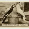 'The interfering parrot.'