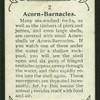 Acorn barnacles.