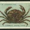 Common shore crab.