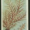 Sea fir.