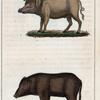 1. Le Cochon. 2. Le Cochon de Siam.