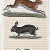 1. Le Lièvre. 2. Le Lapin sauvage. 3. Le Lapin domestique.