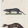 1. La Marte. 2. La Petit Fouine de la Guyane. 3. La Petit Fouine de Madagascar.