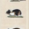 1. Le Hamster. 2. Le Cochon d'Inde. 3. La Musaraigne.