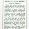 Black-veined white.