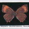 Brown hairstreak, female.