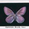 Common blue, male.