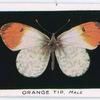 Orange tip, male.