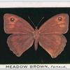 Meadow brown, female.