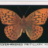 Silver-washed fritillary, male.