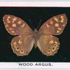 Wood argus.