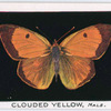 Clouded yellow, male.
